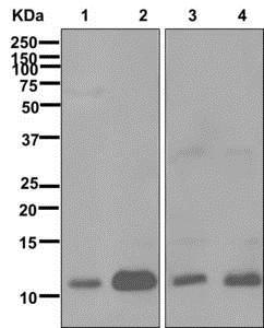 Western blot - Anti-MIF antibody [EPR12462] (ab176565)