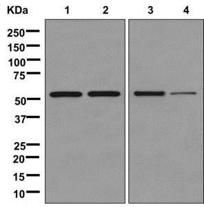 Western blot - Anti-ATP5A antibody [EPR13030(B)] (ab176569)