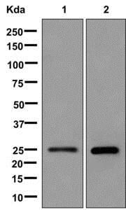 Western blot - Anti-MRas antibody [EPR12457] (ab176570)
