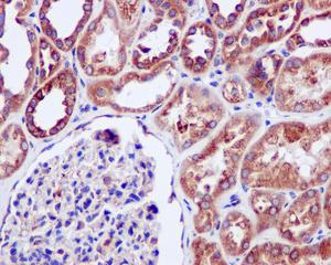 Immunohistochemistry (Formalin/PFA-fixed paraffin-embedded sections) - Anti-ERp29 antibody [EPR12499(B)] (ab176573)