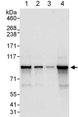 Western blot - Anti-CSDE1/NRU antibody (ab176584)