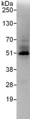 Immunoprecipitation - Anti-ZNF24 antibody (ab176589)