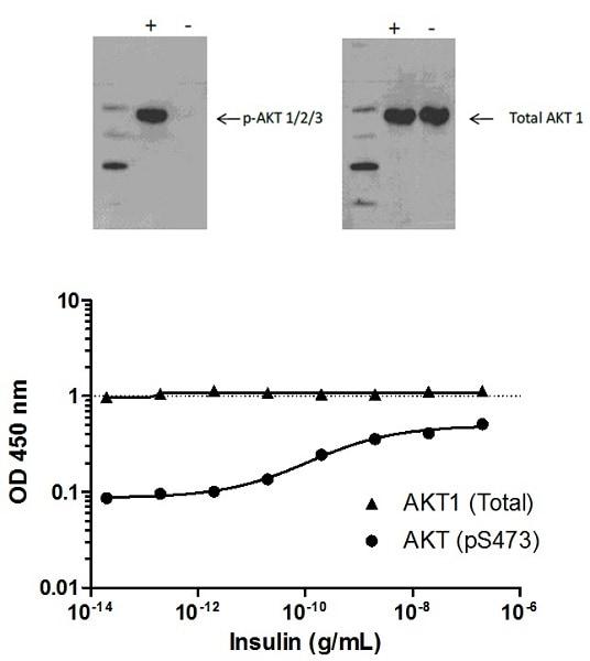AKT (pS473) phosphorylation in response to insulin treatment.
