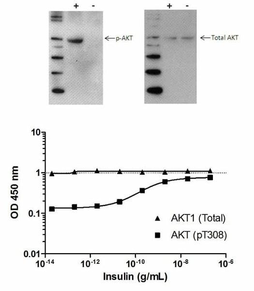 AKT (pT308)  phosphorylation in response to insulin treatment.