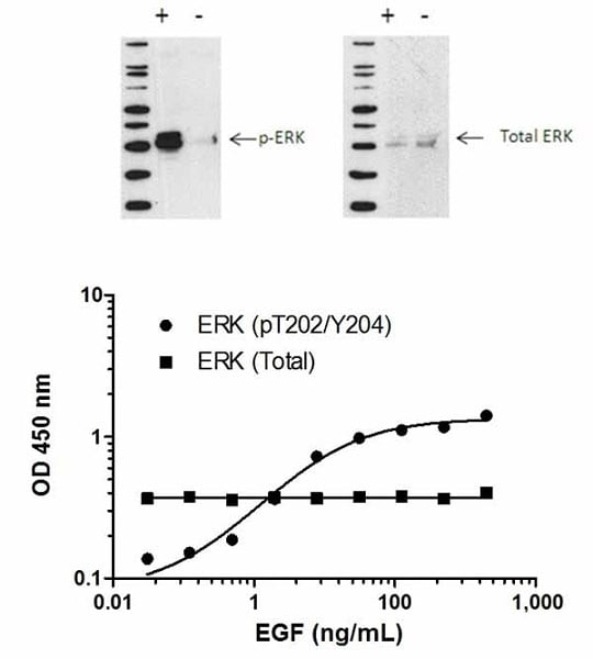 ERK1/2 (pT202/Y204)  phosphorylation in response to EGF treatment.