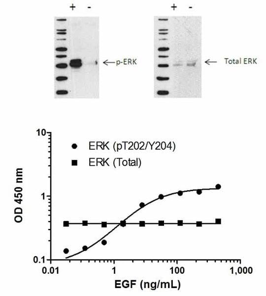ERK1/2 (pT202/Y204)  phosphorylation in response to EGF treatment.