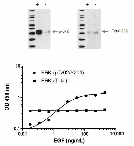 ERK1/2 (pT202/Y204) phosphorylation in response to EGF treatment