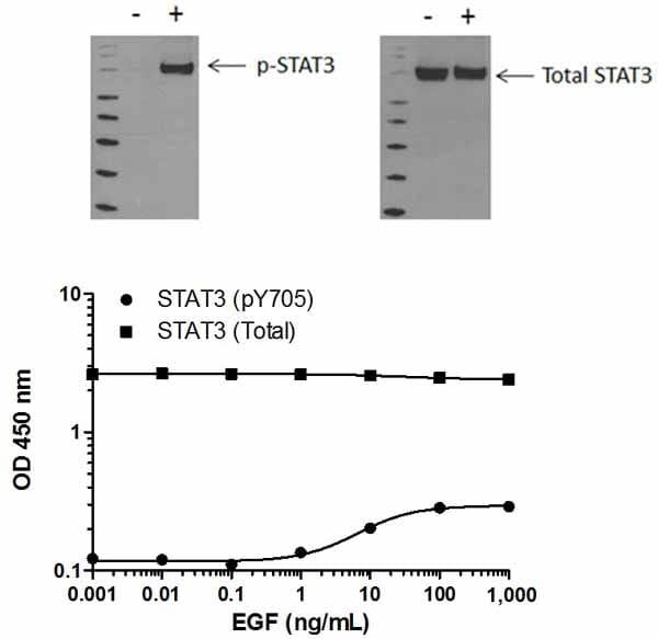 STAT3 (pY705) phosphorylation in response to EGF treatment