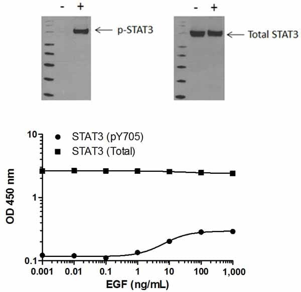 Total STAT3 phosphorylation in response to EGF treatment