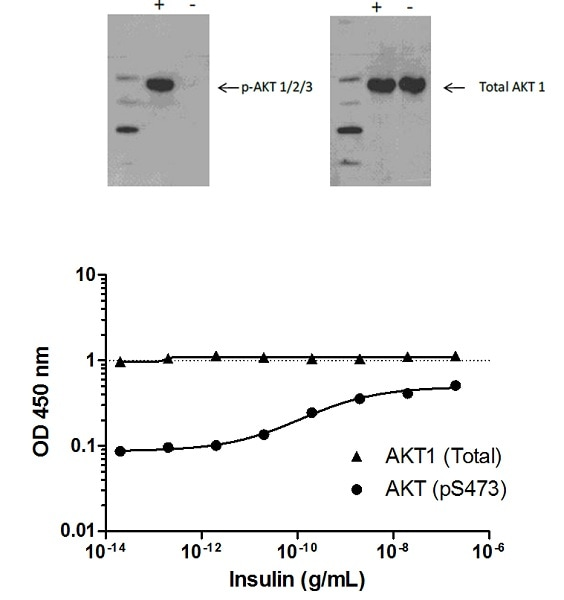 AKT (pS473) phosphorylation in response to Insulin treatment