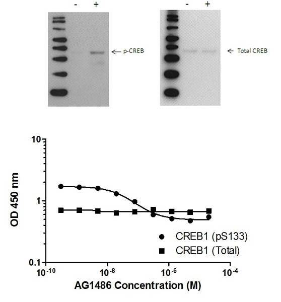 CREB1 (pS133) phosphorylation in response to AG1486 treatment