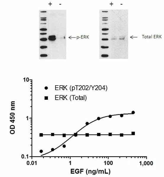 ERK1/2 (pT202/Y204) phosphorylation in response to EGF treatment