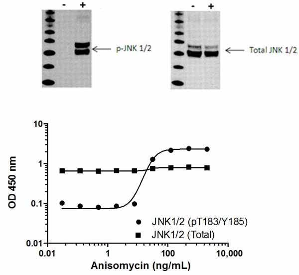 JNK1/2 (pT183/Y185)  phosphorylation in response to anisomycin treatment