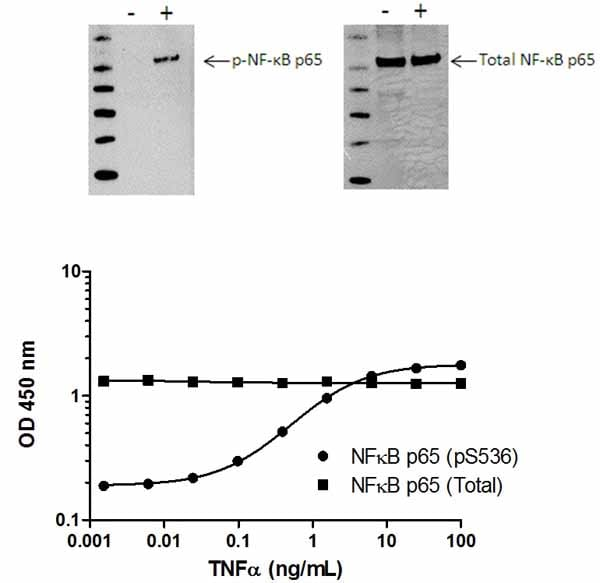 NFkB p65 (pS536) phosphorylation in response to TNFa treatment