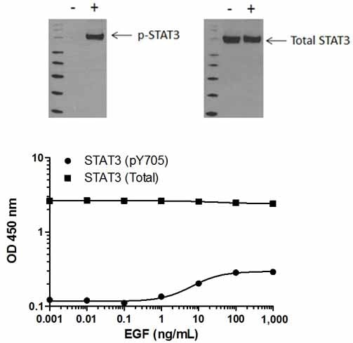 STAT3 (pY705) phosphorylation in response to EGF treatment
