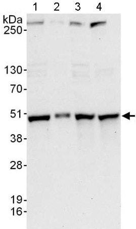 Western blot - Anti-NDRG3 antibody - C-terminal (ab176695)