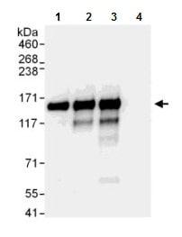 Immunoprecipitation - Anti-NFX1 antibody (ab176733)