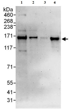 Western blot - Anti-DNA polymerase alpha/POLA antibody (ab176734)