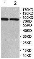 Western blot - Anti-GFPT1 antibody (ab176775)