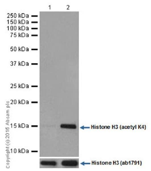 Western blot - Anti-Histone H3 (acetyl K4) antibody [EPR16596] - ChIP Grade (ab176799)