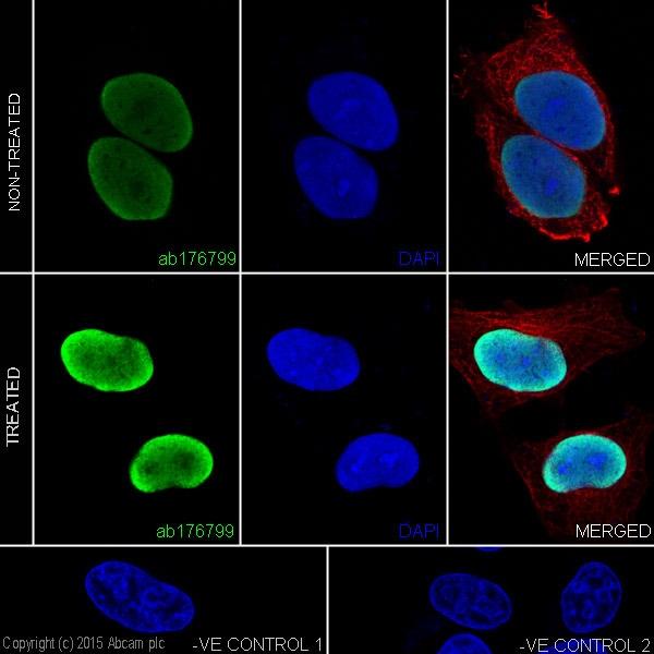 Immunocytochemistry/ Immunofluorescence - Anti-Histone H3 (acetyl K4) antibody [EPR16596] - ChIP Grade (ab176799)