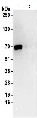 Immunoprecipitation - Anti-DNAJC1 antibody (ab176808)