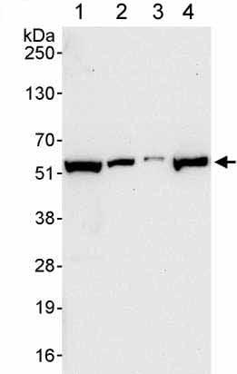 Western blot - Anti-GRWD1 antibody (ab176815)