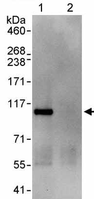 Immunoprecipitation - Anti-WDR3 antibody (ab176817)