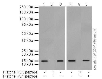 Western blot - Anti-Histone H3.3 antibody [EPR17899] - ChIP Grade (ab176840)