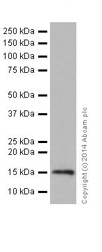 Western blot - Anti-Histone H3 (mono methyl R2) antibody [EPR17704] - ChIP Grade (ab176844)