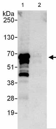 Immunoprecipitation - Anti-NIPA antibody (ab176847)