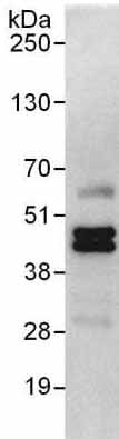 Immunoprecipitation - Anti-SUGT1 antibody (ab176849)