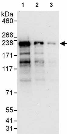 Western blot - Anti-DNMBP antibody (ab176851)