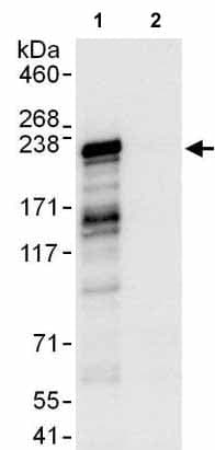 Immunoprecipitation - Anti-DNMBP antibody (ab176851)