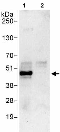 Immunoprecipitation - Anti-EIF3F antibody (ab176853)