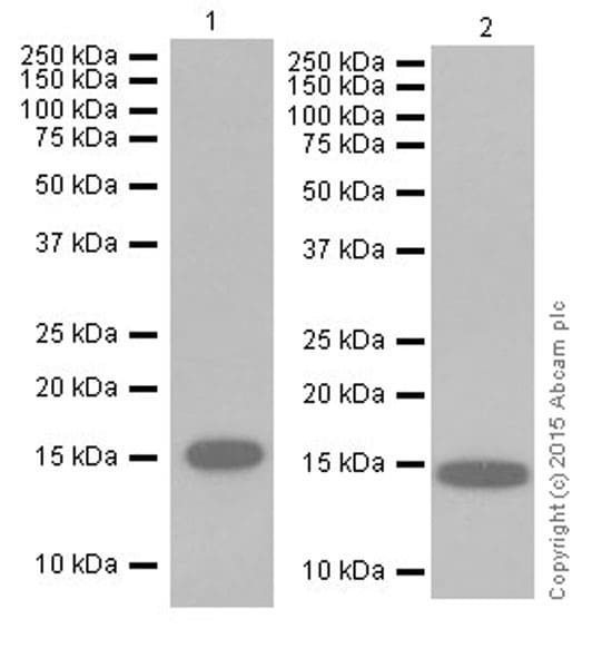Western blot - Anti-Histone H3 (di methyl K36) antibody [EPR16994(2)] - ChIP Grade (ab176921)
