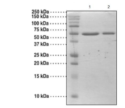 SDS-PAGE - Recombinant Human RIZ1 protein (Tagged) (ab176927)