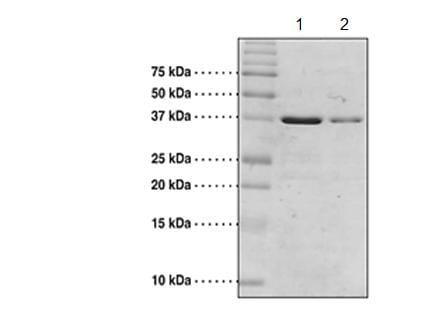 SDS-PAGE - Recombinant Human CREBBP protein (Tagged) (ab176930)