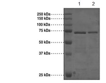 SDS-PAGE - Recombinant Human Brd4 protein (Tagged) (ab176941)