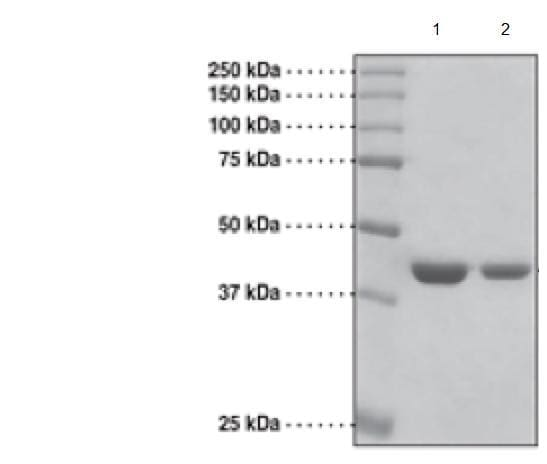 SDS-PAGE - Recombinant Human KDM4A / JHDM3A / JMJD2A protein (Tagged) (ab176943)