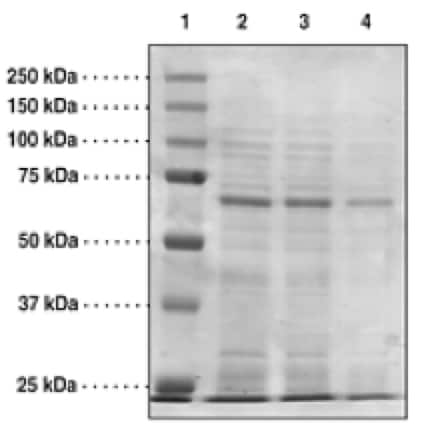 SDS-PAGE - Recombinant Human JMJD6 protein (Tagged) (ab176947)