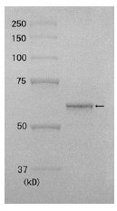 SDS-PAGE - Recombinant human DNA Polymerase Kappa/POLK protein (ab176956)