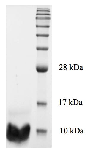 SDS-PAGE - Recombinant Human NRG1 protein (ab176957)