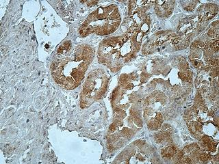 Immunohistochemistry (Formalin/PFA-fixed paraffin-embedded sections) - Anti-MPEG1 antibody (ab176974)