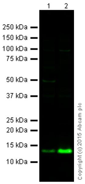 Western blot - Anti-Histone H4 (formyl K12) antibody (ab177068)