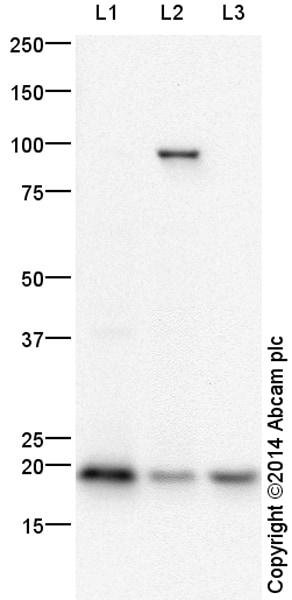 Western blot - Anti-Histone H2B (crotonyl K5) antibody (ab177139)