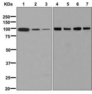 Western blot - Anti-SFPQ antibody [EPR11847] (ab177149)