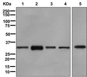Western blot - Anti-hnRNP A1 antibody [EPR12768] (ab177152)