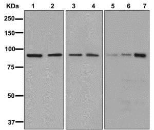 Western blot - Anti-Gephyrin antibody [EPR12651(B)] (ab177154)