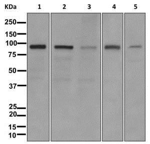 Western blot - Anti-Striatin 4 antibody [EPR11801] (ab177155)